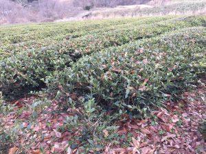 雪のない紅茶畑