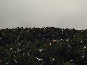 霧の紅茶農園